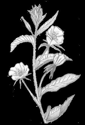 Plante Chaillac