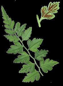 Capillaire-noire - Chaillac