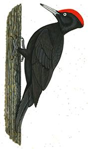 Pic-noir - Chaillac